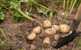 Как правильно копать картошку