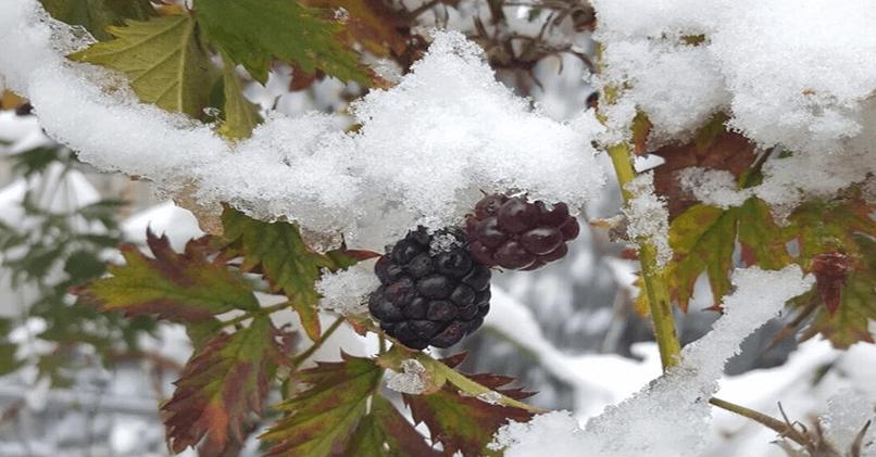 Как правильно укрывать на зиму садовую ежевику