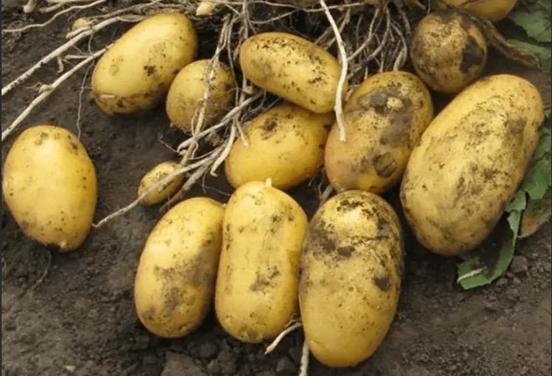 Картофель Армада