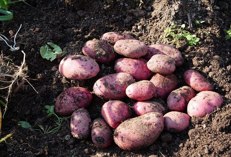 Картофель Мираж