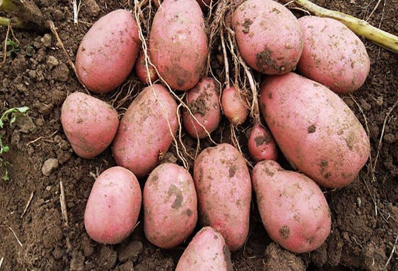 Картофель Уника