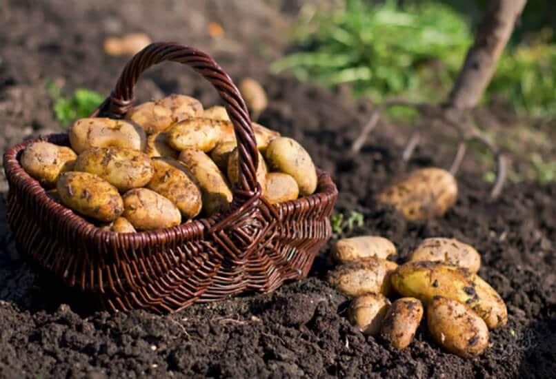 Сбор картофельного урожая
