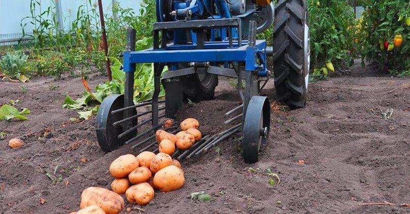 Как копать картошку с помощью мотоблока