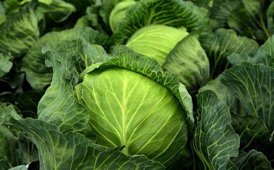 Как правильно сажать капусту
