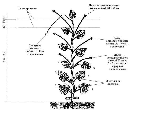 Схема прищипывания в открытом грунте
