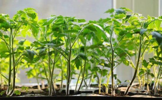 Как выращивать помидоры с нуля