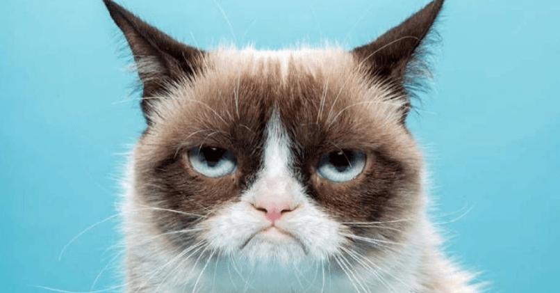 Сердитая кошка – Grumpy Cat