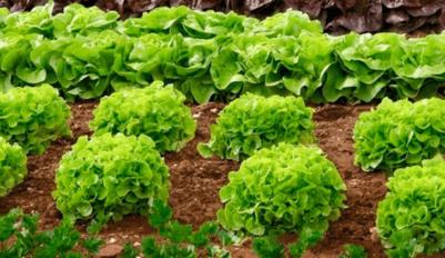 Как сажать листовой салат
