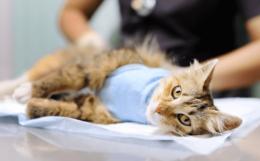 Как стерилизуют кошек