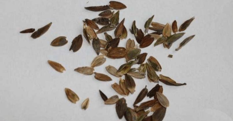Семена цинии