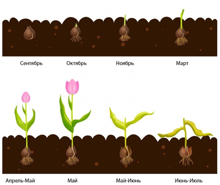 Схема развития луковицы тюльпана