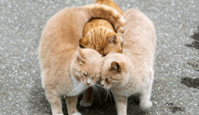 Как гуляют кошки