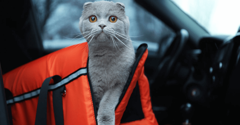 Как перевозить кошку