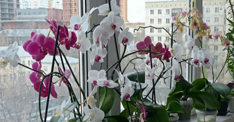 Как посадить орхидею дома
