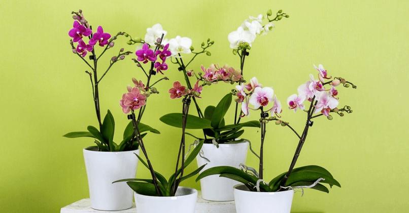 Как цветет орхидея