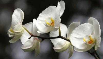 Орхидея уход