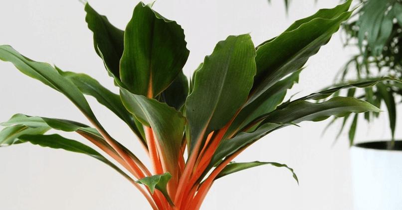 Вездесущий комнатный фонтан хлорофитум – простые способы его размножения семенами, детками и отводками