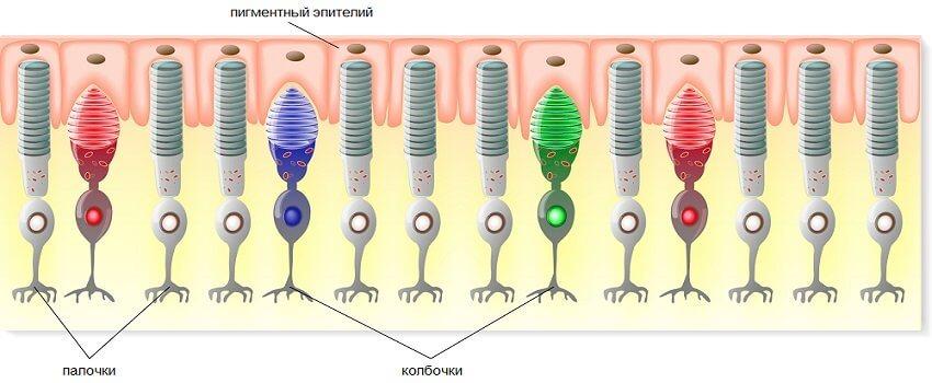 Устройство сетчатки человека